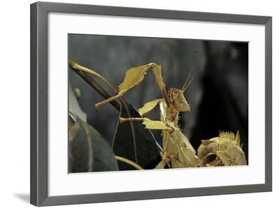Extatosoma Tiaratum (Giant Prickly Stick Insect)-Paul Starosta-Framed Photographic Print