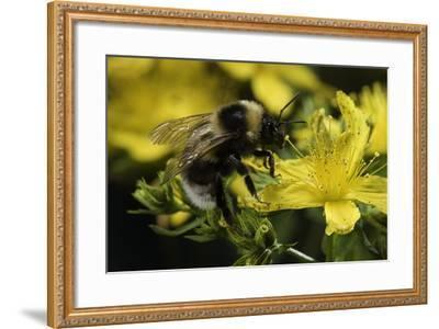 Bombus Hortorum (Small Garden Bumblebee)-Paul Starosta-Framed Photographic Print
