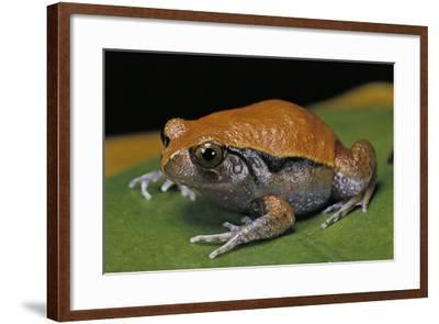 Dyscophus Guineti (False Tomato Frog)-Paul Starosta-Framed Photographic Print