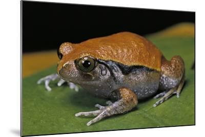 Dyscophus Guineti (False Tomato Frog)-Paul Starosta-Mounted Photographic Print
