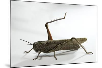 Anacridium Aegyptium (Egyptian Locust)-Paul Starosta-Mounted Photographic Print