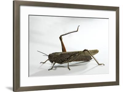 Anacridium Aegyptium (Egyptian Locust)-Paul Starosta-Framed Photographic Print