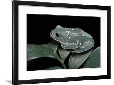 Pachymedusa Dacnicolor (Mexican Leaf Frog)-Paul Starosta-Framed Photographic Print