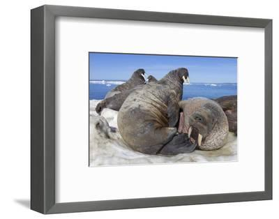 Walrus Herd on Iceberg, Hudson Bay, Nunavut, Canada-Paul Souders-Framed Photographic Print