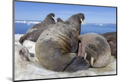 Walrus Herd on Iceberg, Hudson Bay, Nunavut, Canada-Paul Souders-Mounted Photographic Print