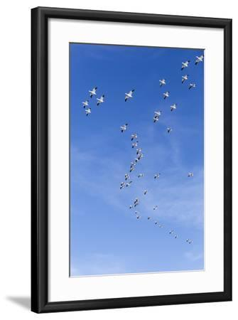 Snow Geese, New Mexico-Paul Souders-Framed Photographic Print