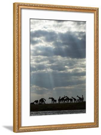 Giraffe Herd along Chobe River, Chobe National Park, Botswana-Paul Souders-Framed Photographic Print
