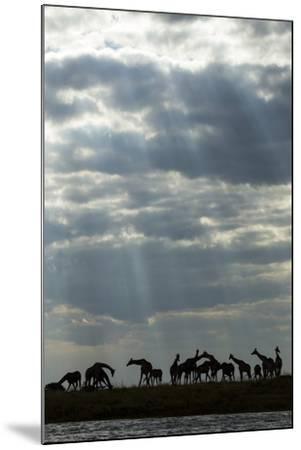 Giraffe Herd along Chobe River, Chobe National Park, Botswana-Paul Souders-Mounted Photographic Print
