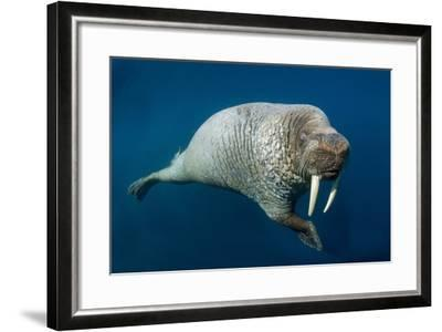 Underwater Walrus, Hudson Bay, Nunavut, Canada-Paul Souders-Framed Photographic Print