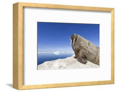 Walrus on Iceberg, Hudson Bay, Nunavut, Canada-Paul Souders-Framed Photographic Print