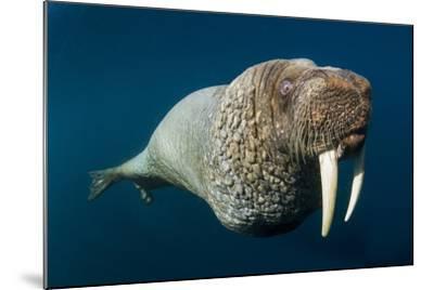 Underwater Walrus, Hudson Bay, Nunavut, Canada-Paul Souders-Mounted Photographic Print