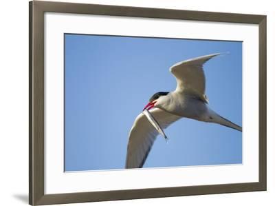 Arctic Tern, Hudson Bay, Canada-Paul Souders-Framed Photographic Print
