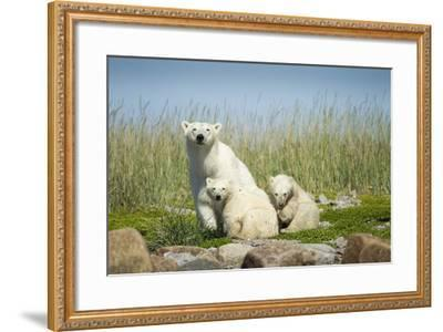 Polar Bear and Cubs, Hudson Bay, Manitoba, Canada-Paul Souders-Framed Photographic Print