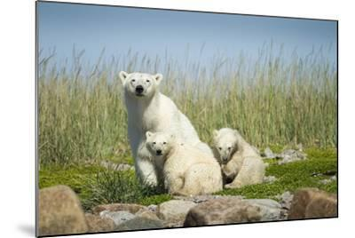 Polar Bear and Cubs, Hudson Bay, Manitoba, Canada-Paul Souders-Mounted Photographic Print
