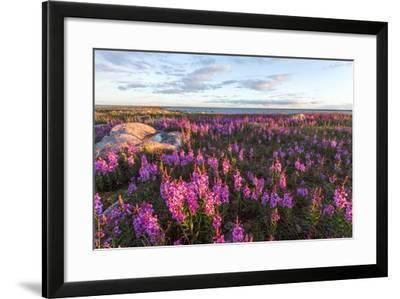 Fireweed, Hudson Bay, Canada-Paul Souders-Framed Photographic Print