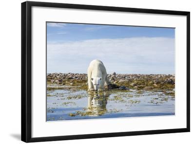 Polar Bear, Hudson Bay, Nunavut, Canada-Paul Souders-Framed Photographic Print