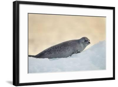Ringed Seal Pup, Nunavut, Canada-Paul Souders-Framed Photographic Print