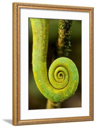 Parsons Chameleon Tail, Andasibe-Mantadia National Park, Madagascar-Paul Souders-Framed Photographic Print
