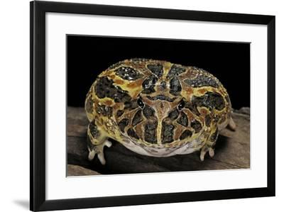 Ceratophrys Ornata (Ornate Horned Frog, Escuerzo)-Paul Starosta-Framed Photographic Print