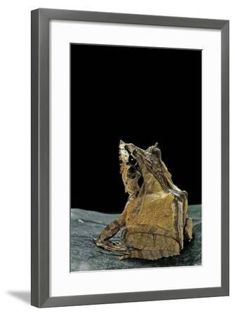 Ceratobatrachus Guentheri (Gunther's Triangle Frog)-Paul Starosta-Framed Photographic Print