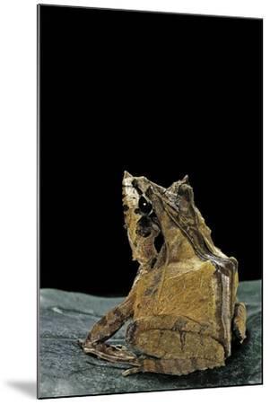 Ceratobatrachus Guentheri (Gunther's Triangle Frog)-Paul Starosta-Mounted Photographic Print