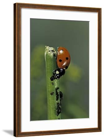 Coccinella Septempunctata (Sevenspotted Lady Beetle) - Devouring Aphids-Paul Starosta-Framed Photographic Print