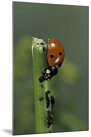 Coccinella Septempunctata (Sevenspotted Lady Beetle) - Devouring Aphids-Paul Starosta-Mounted Photographic Print