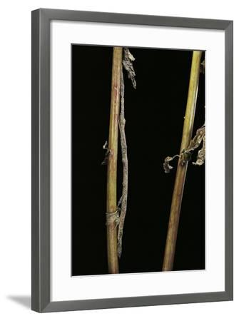 Carausius Spinosus (Pincer-End Stick Insect)-Paul Starosta-Framed Photographic Print