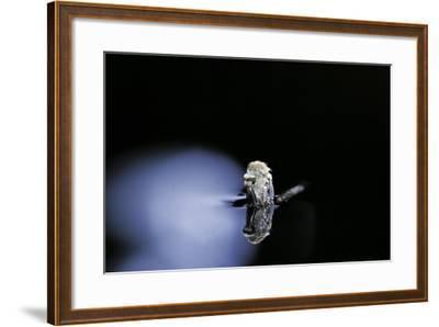 Culex Pipiens (Common House Mosquito) - Emerging (B3)-Paul Starosta-Framed Photographic Print