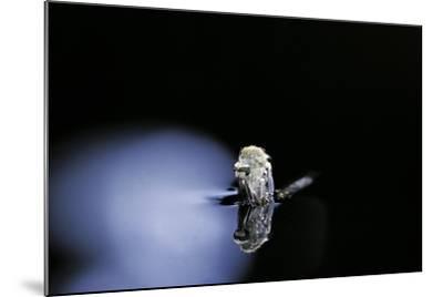Culex Pipiens (Common House Mosquito) - Emerging (B3)-Paul Starosta-Mounted Photographic Print