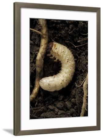Melolontha Melolontha (Cockchafer, Maybug) - Larva or White Grub in Earth-Paul Starosta-Framed Photographic Print