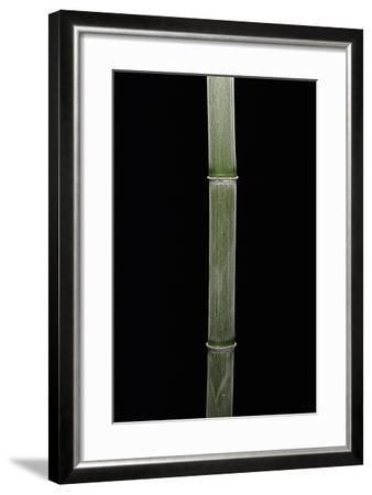 Phyllostachys Pubescens (Moso Bamboo)-Paul Starosta-Framed Photographic Print