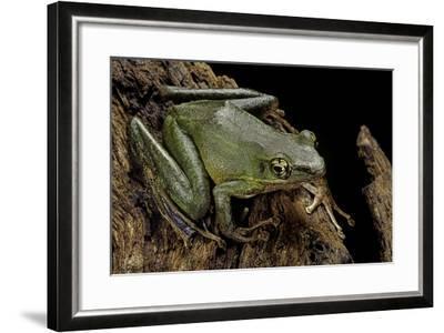 Odorrana Hosii (Poisonous Rock Frog)-Paul Starosta-Framed Photographic Print