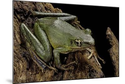 Odorrana Hosii (Poisonous Rock Frog)-Paul Starosta-Mounted Photographic Print