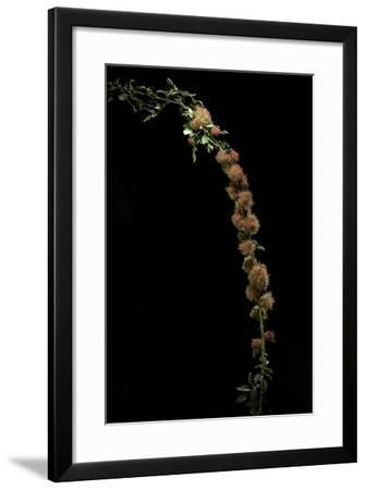 Diplolepis Rosae (Mossy Rose Gall Wasp) - Rose Bedeguar Gall-Paul Starosta-Framed Photographic Print