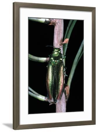 Eurythyrea Micans (Jewel Beetle)-Paul Starosta-Framed Photographic Print