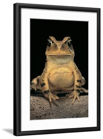 Bufo Brauni (Dead-Leaf Toad)-Paul Starosta-Framed Photographic Print