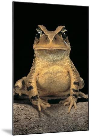 Bufo Brauni (Dead-Leaf Toad)-Paul Starosta-Mounted Photographic Print