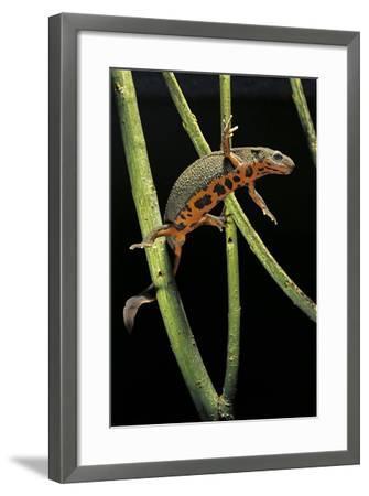 Cynops Pyrrhogaster (Japanese Fire-Bellied Newt)-Paul Starosta-Framed Photographic Print