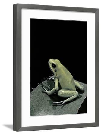 Phyllobates Terribilis F. Mint (Golden Poison Frog)-Paul Starosta-Framed Photographic Print