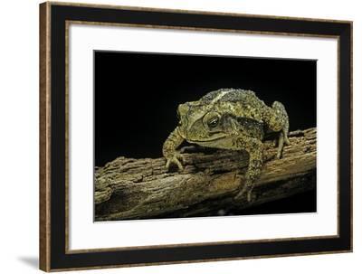 Incilius Valliceps (Gulf Coast Toad)-Paul Starosta-Framed Photographic Print