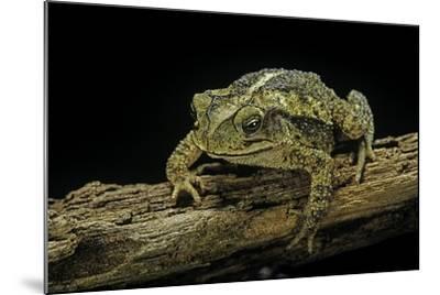 Incilius Valliceps (Gulf Coast Toad)-Paul Starosta-Mounted Photographic Print