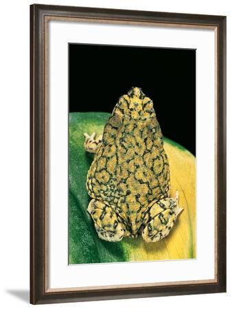 Anaxyrus Debilis (Green Toad)-Paul Starosta-Framed Photographic Print