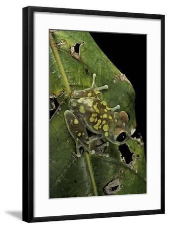 Leptopelis Uluguruensis (Uluguru Forest Treefrog)-Paul Starosta-Framed Photographic Print