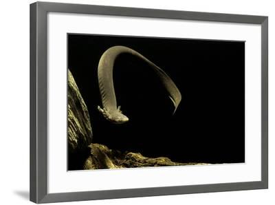 Siren Intermedia (Lesser Siren)-Paul Starosta-Framed Photographic Print