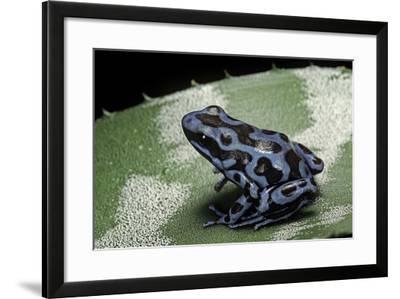 Dendrobates Auratus F. Blue (Green and Black Poison Dart Frog)-Paul Starosta-Framed Photographic Print