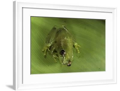 Hyperolius Sp. (African Reed Frog)-Paul Starosta-Framed Photographic Print
