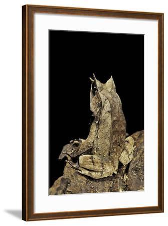 Megophrys Nasuta (Malayan Horned Frog, Long-Nosed Horned Frog, Malayan Leaf Frog)-Paul Starosta-Framed Photographic Print
