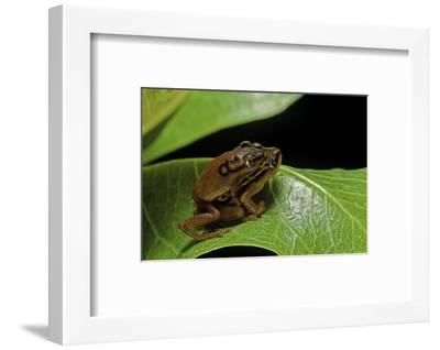 Hyperolius Puncticulatus - Mating-Paul Starosta-Framed Photographic Print