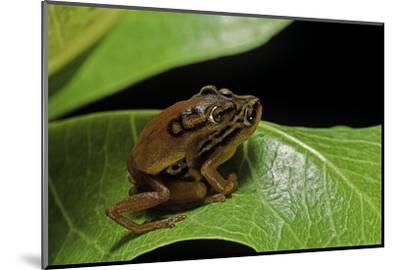 Hyperolius Puncticulatus - Mating-Paul Starosta-Mounted Photographic Print